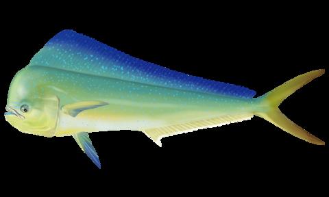 シイラ【鬼頭魚、鱪】