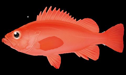 アコウダイ【阿候鯛、赤魚鯛】