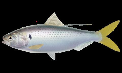 コノシロ【子之代、飯代魚、鰶、鮗】