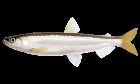 キュウリウオ【胡瓜魚】