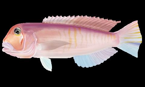 アマダイ(アカアマダイ)【赤甘鯛、赤尼鯛】